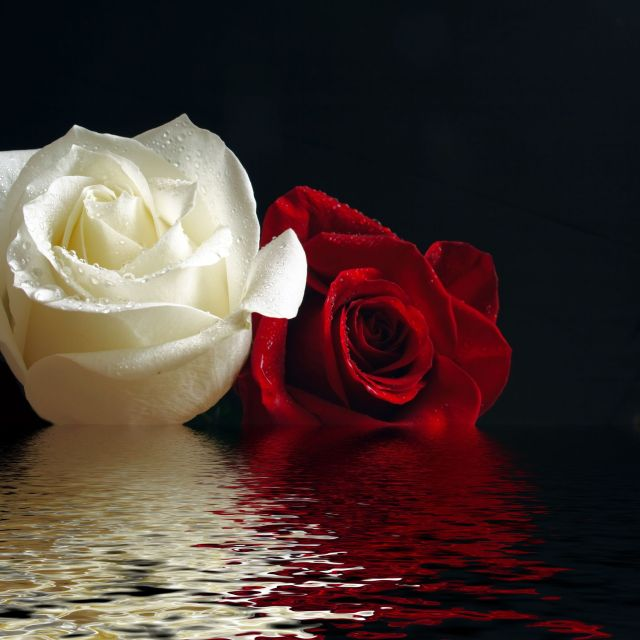 Red and white rose on water